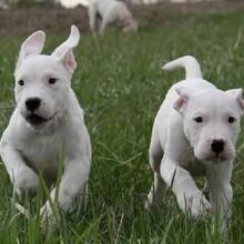 營口純血統阿根廷杜高犬什么價格血統純正全國發貨圖片