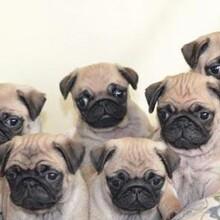 湛江巴哥犬最新报价八哥犬什么价格疫苗齐包健康图片