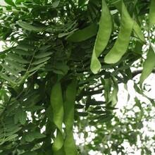 起运苗木皂荚树,天津承接皂角树苗木出售图片