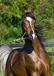 湖南優良騎乘馬,伊犁馬養殖