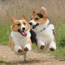 柯基犬价格纯血统柯基犬繁殖保健康纯种图片