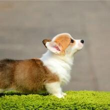 撫順柯基犬多少錢一只柯基犬價格狗場出售疫苗齊健康無憂圖片