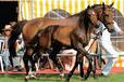 南京養殖騎乘馬-大型養馬場,伊犁馬養殖