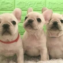 邯鄲二三個月的純血統巴哥犬多少錢一只疫苗齊包健康圖片