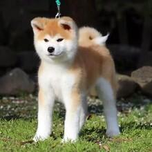 日系秋田犬多少錢一只繁殖保健康純種圖片