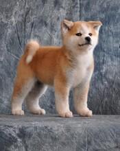 酒泉一只日系秋田犬什么价位哪里能买到图片