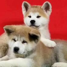 哪里有出售秋田犬的血统纯正全国发货图片