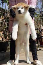 專業賽季秋田犬繁殖完美售后哪里能買到圖片