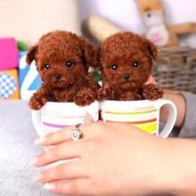 专业赛季泰迪犬繁殖完美售后狗场出售品质保证图片