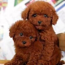 大同哪里有出售泰迪犬的養狗場聯系方式圖片