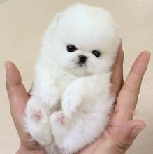 莆田附近寵物店在哪里博美什么價格疫苗齊血統正,小體博美犬圖片