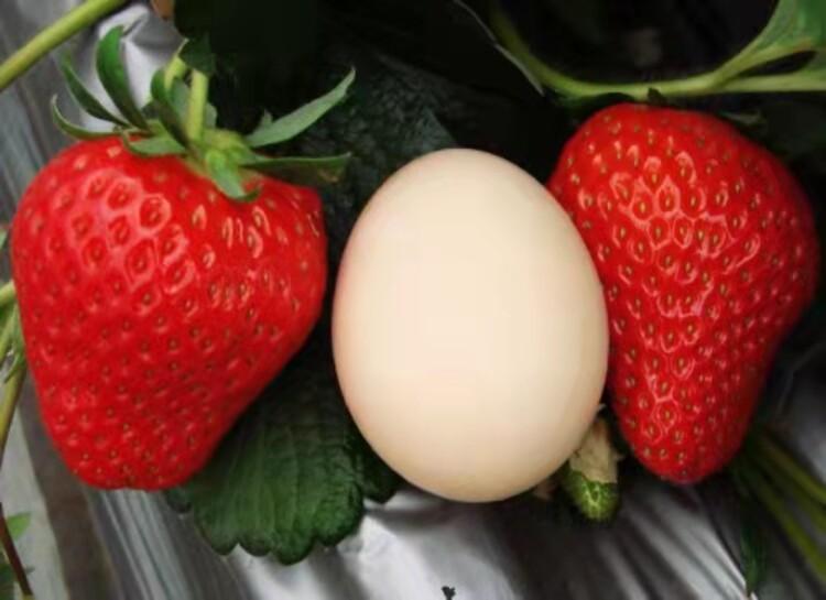 �碣e�}�Q�t草莓苗�N植基地