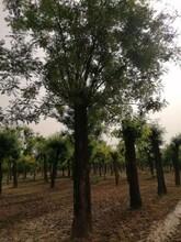 澳门15公分国槐树图片