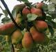 桐柏紅貴妃香梨種植技術