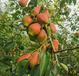 鄢陵紅貴妃香梨供應