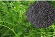 吉林長春長柔毛野豌豆種子種植時間,毛苕子種子