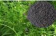 湖南長沙長柔毛野豌豆種子批發價格,長柔毛野豌豆種籽