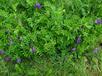 廣西貴港長柔毛野豌豆種子種植時間,長柔毛野豌豆種籽