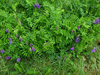 安徽宣城長柔毛野豌豆種子種植方法