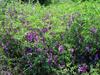 云南迪慶長柔毛野豌豆種子種植時間,長柔毛野豌豆種籽