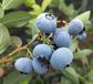 優系列藍莓苗基地