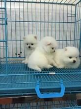 贛州附近寵物店在哪里博美什么價格疫苗齊血統正圖片