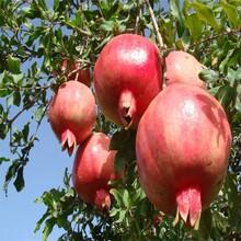 项城石榴树苗,泰山红石榴图片