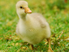 怎么預防鵝發燒治療鵝高燒不退的藥