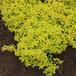 沭陽當地30公分金焰繡線菊銷售價格