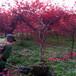 紅楓樹5至10公分的市場價格