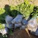 0.4米至1米綠化冬青樹苗價格-圖片