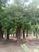 秋季30公分好樹型的國槐價格報價出售30公分國槐樹