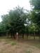 大規格國槐基地出售大規格國槐樹20公分一60公分國槐樹