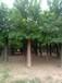秋季30公分國槐樹價格報價出售30公分國槐樹