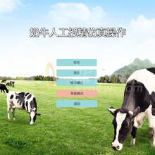 奶牛人工授精VR教學,虛擬仿真實訓軟件,北京華銳視點圖片