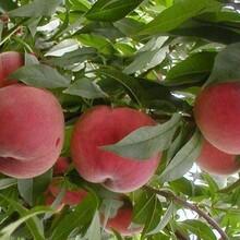 今年5公分桃樹價格+今日5公分占地桃樹價格+5公分桃樹多少錢一棵圖片