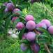 脆紅李苗價格種植批發;常德晚熟脆紅李子苗批發基地