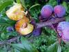 脆紅李苗哪個品種好;雅安脆紅李子樹苗批發基地