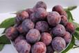 中晚熟脆紅李苗品種介紹及圖片-晚熟脆紅李樹苗小苗基地