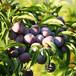 脆紅李苗價格多少;長沙晚熟脆紅李子樹苗新品種價格2021