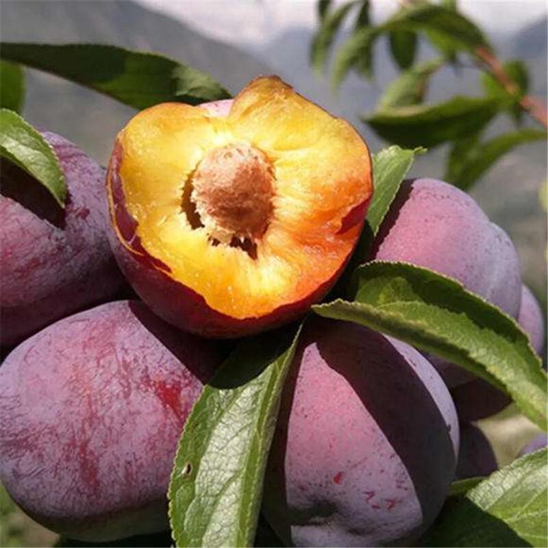 脆红李苗新品种价格脆红李苗;福州红脆李子苗新品种价格