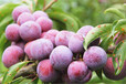 脆紅李苗種植技術年結果?-晚熟脆紅李樹苗三公分苗價格