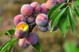 脆紅李苗供應商;黃岡晚熟脆紅李樹苗新品種價格
