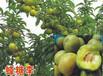 蜂糖李苗哪个品种好-合肥蜂糖李树苗种苗基地
