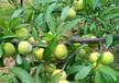 蜂糖李苗價格報價多少錢-雅安早熟蜂糖李子苗苗木基地