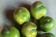 蜂糖李苗什么時候移栽合適-梧州蜂糖李苗木2公分苗的價格