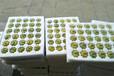 蜂糖李苗公司-無錫蜂糖李苗1年苗的價格