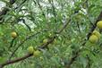 蜂糖李苗哪個品種好吃-黔南早熟蜂糖李苗種植技術