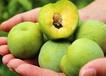 蜂糖李苗木品種;蜂糖李苗價格及圖片