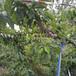 黃岡早熟五月脆樹苗1年苗的價格;五月脆李苗幾月種植